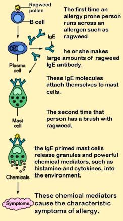 Mast_cells.jpg